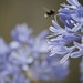 January Series - A month of Agapanthus (26)