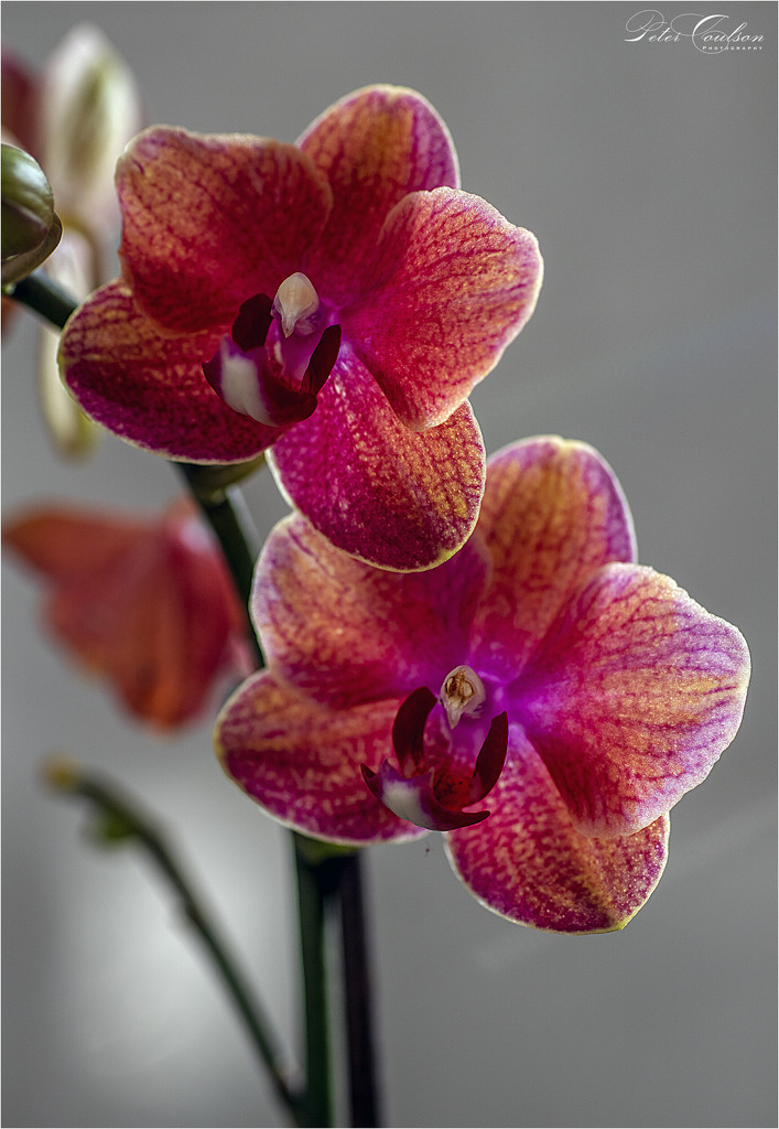 Pink Orchids by pcoulson