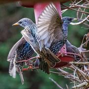26th Jan 2020 - Starling Frenzy