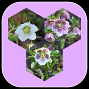 26th Jan 2020 - Hellebores