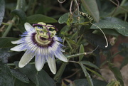26th Jan 2020 - Passion Flower