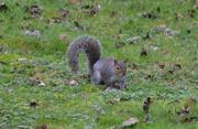26th Jan 2020 - Squirrel