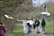 26th Jan 2020 - Dive bombing the walkers