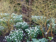 27th Jan 2020 - Snowdrops Galore