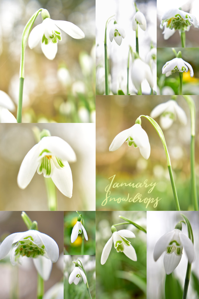 January Snowdrops  by helly31