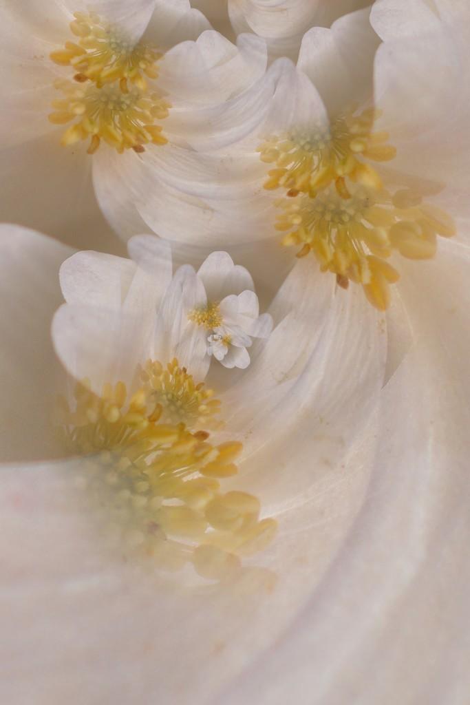 White dreamy flowers........ by ziggy77