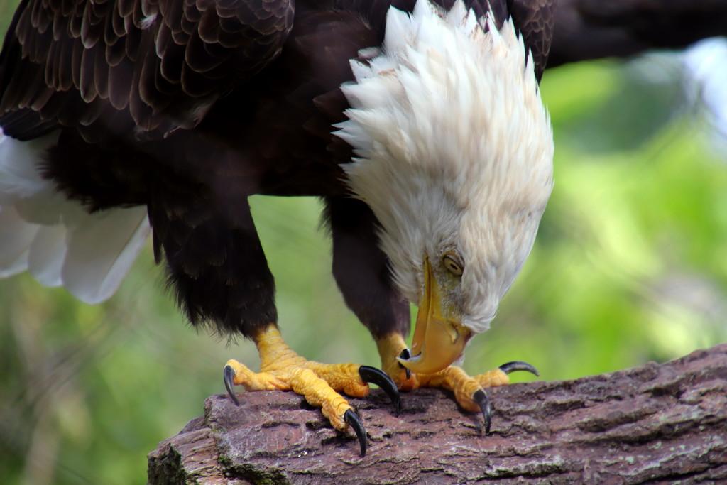 Bald Eagle by randy23