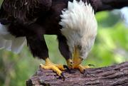 26th Jan 2020 - Bald Eagle