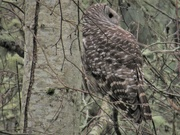 24th Jan 2020 - Owl
