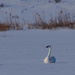 trumpeter swan by mjalkotzy