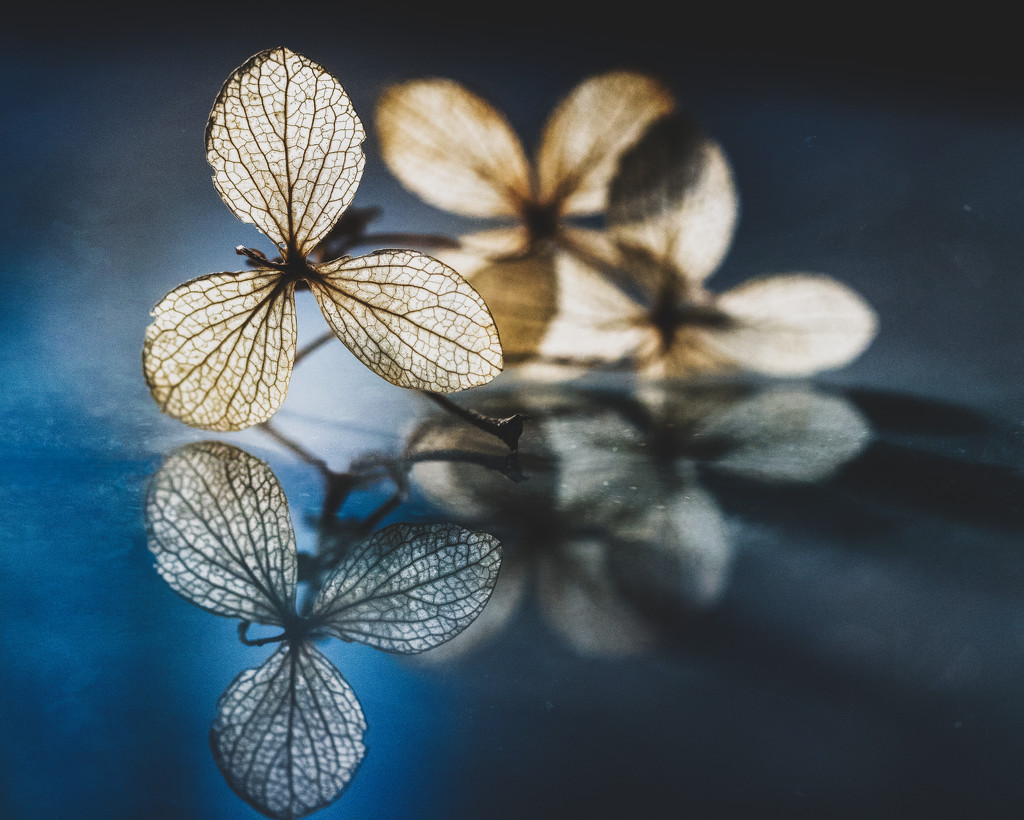 Winter Hydrangea by rosiekerr