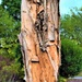 Another Beautiful Paper Bark Tree Trunk ~