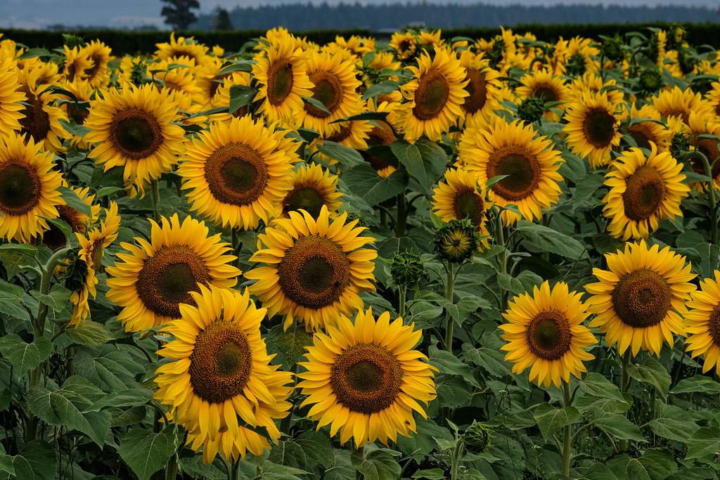 Sunflower field by maureenpp