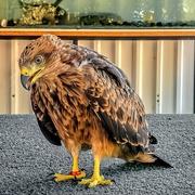 27th Jan 2020 - Yellow billed Kite's Sibling