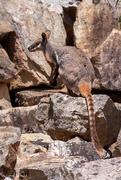 27th Jan 2020 - Rock wallaby