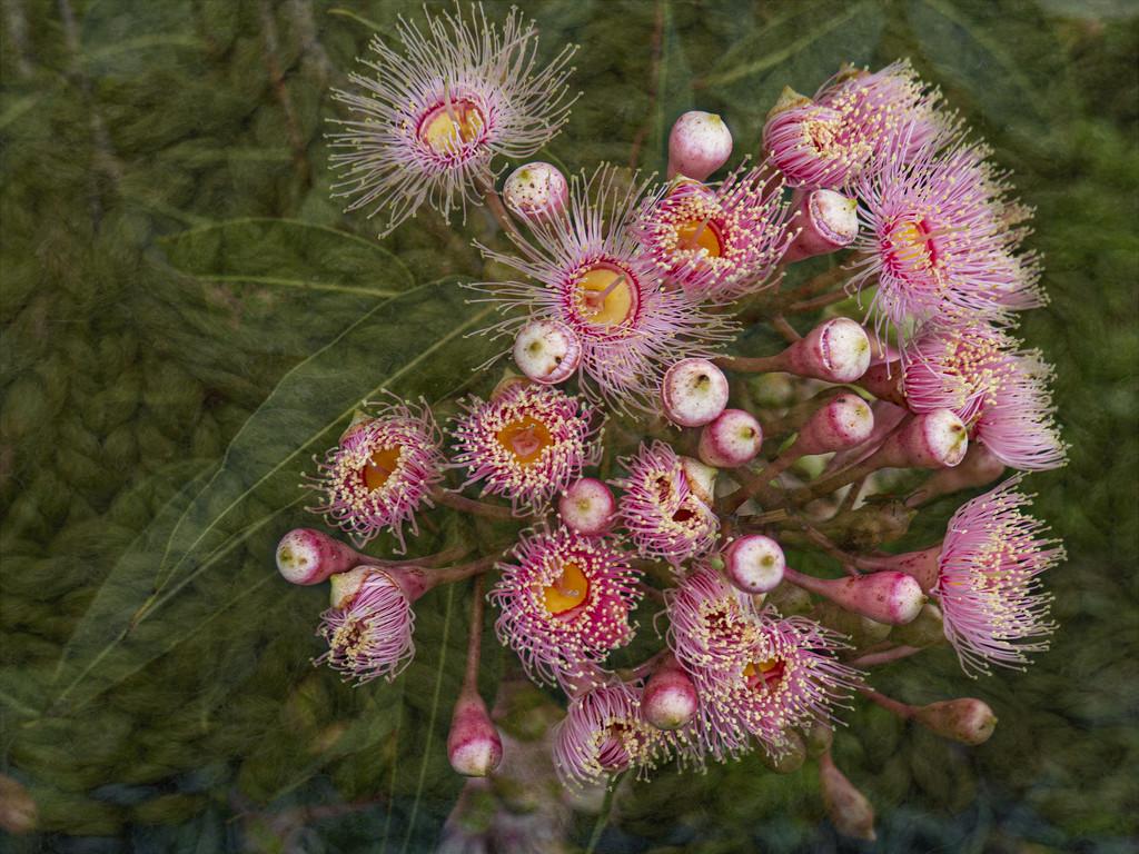 flowering gum by koalagardens
