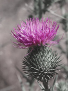 25th Jan 2020 - Thistle