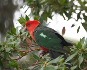 26th Jan 2020 - King Parrot