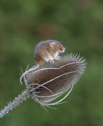27th Jan 2020 - harvest mouse