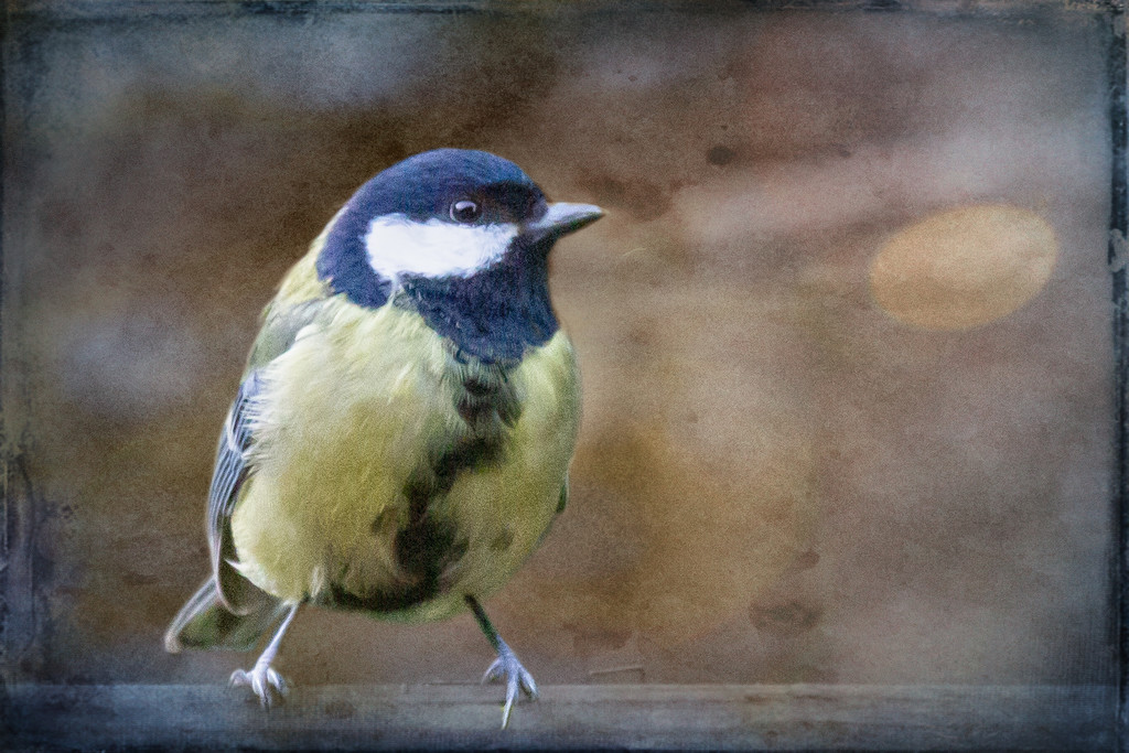 Great Tit by pamknowler