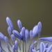 January Series - A month of Agapanthus (27)