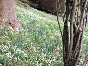 27th Jan 2020 - Snowdrops at The Weir Garden