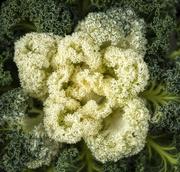 27th Jan 2020 - Ornamental Kale