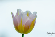 27th Jan 2020 - Two-color tulip