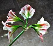 27th Jan 2020 - 5 blooms