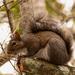 Squirrel Getting Ready to Squeal!! by rickster549