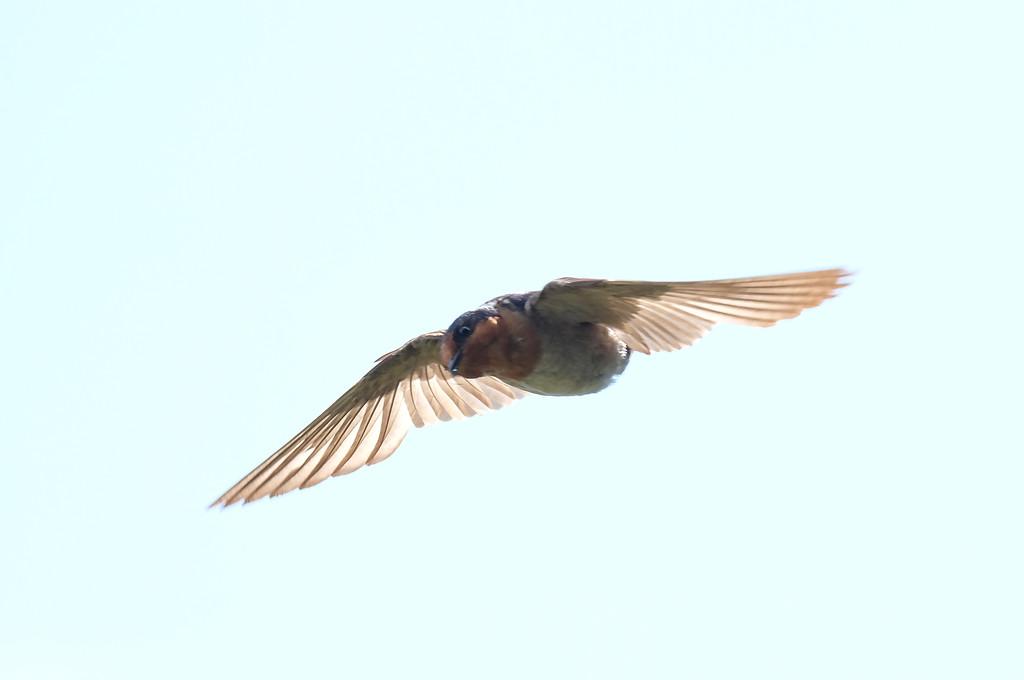 Welcome swallow in flight by maureenpp