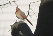 28th Jan 2020 - Lady Cardinal