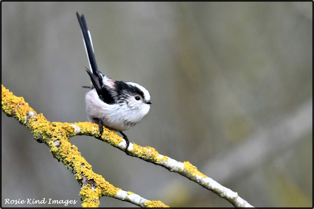 Long tailed tit on my walk this morning by rosiekind