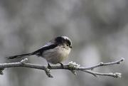 28th Jan 2020 - long-tailed tit