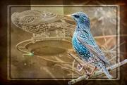 28th Jan 2020 - Starling