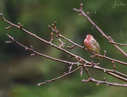 28th Jan 2020 - House Finch Sitting In the Rain