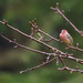 House Finch Sitting In the Rain