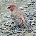 The male House Finch by tunia