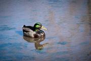 28th Jan 2020 - Mallard Duck