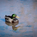 Mallard Duck by jnorthington