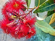 29th Jan 2020 - Gum tree flowers