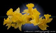 29th Jan 2020 - Daffodils