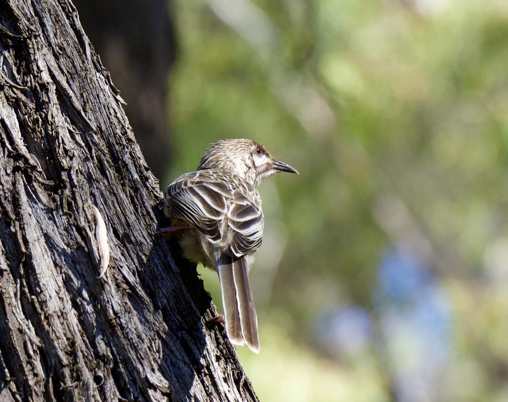 Wattle Bird P1270229 by merrelyn
