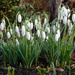 Beautiful snow drops by 365anne