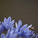 January Series - A month of Agapanthus (29)