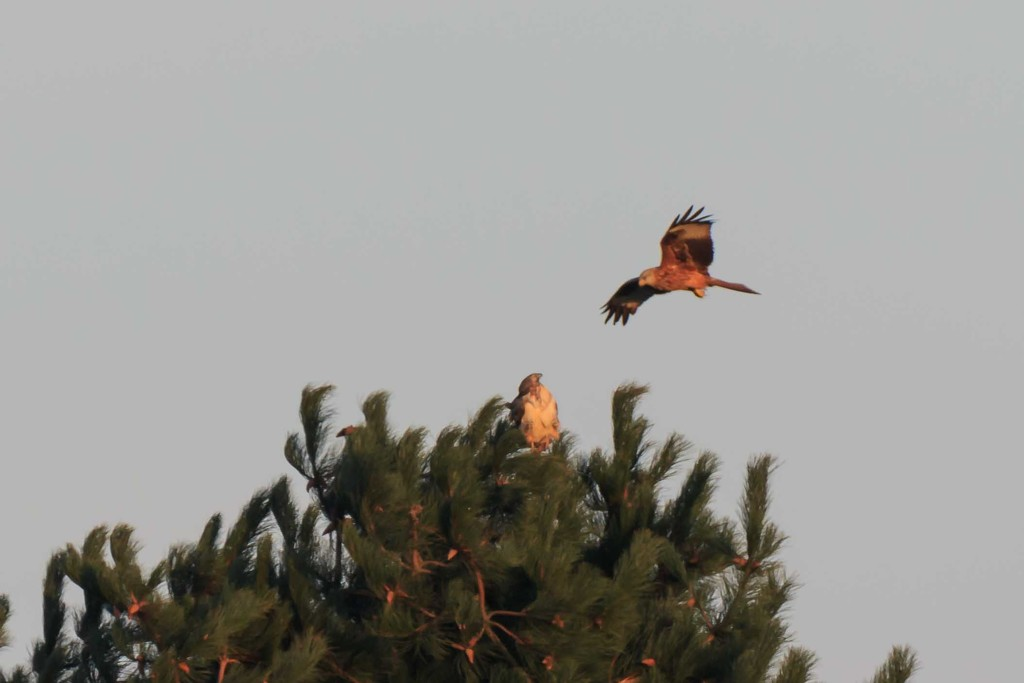 Not a happy Red Kite by padlock