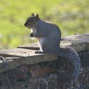 29th Jan 2020 - Squirrel