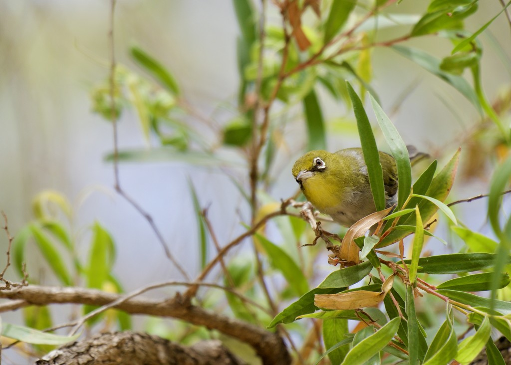 A Little Silvereye Came To Visit P1280272 by merrelyn