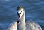 29th Jan 2020 - Hissing swan
