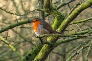29th Jan 2020 - Robin at the side of Erewash Canal.